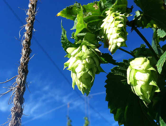 Farm to Pint's Cascade hops.