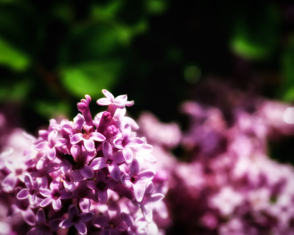 The Lilacs up close.