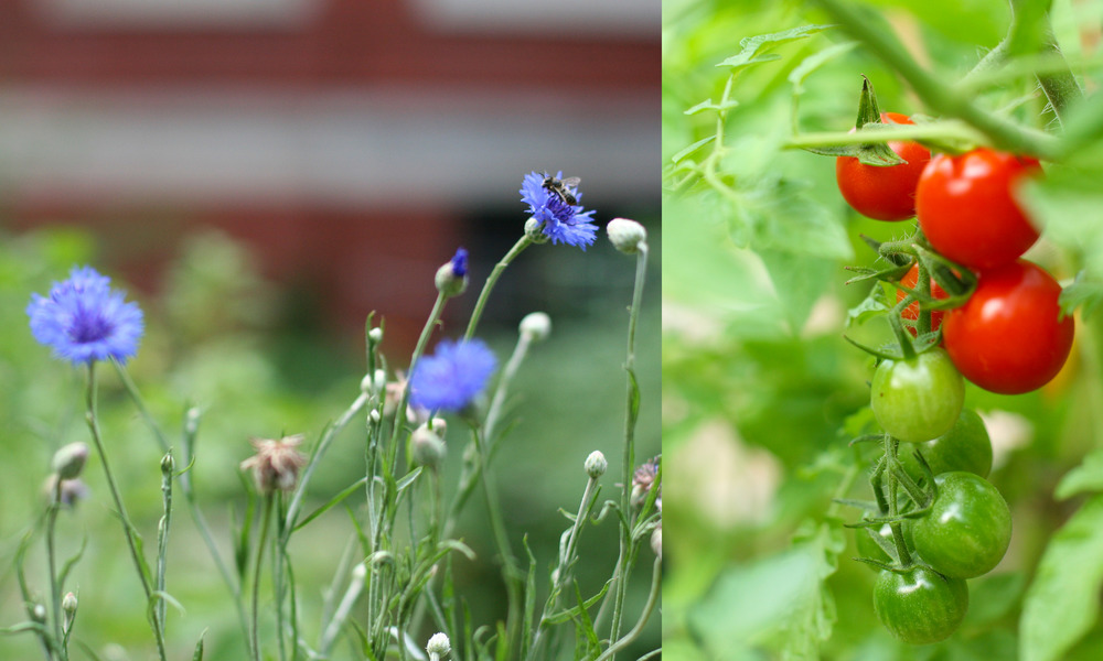tomatoes and flowers.jpg