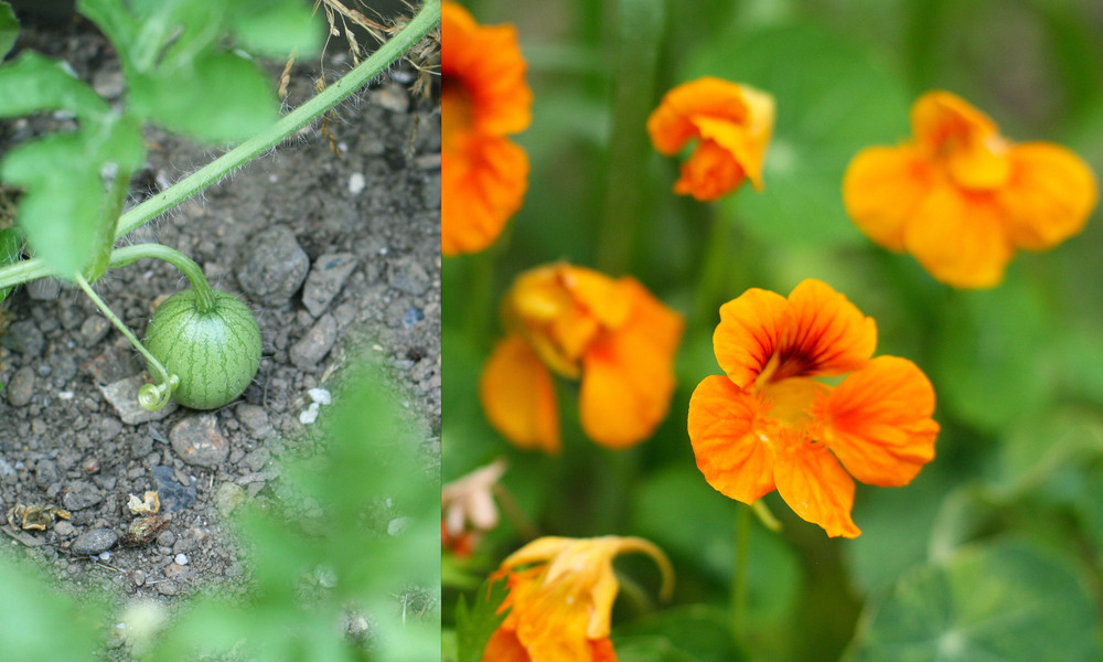 watermelon and nastursiums.jpg