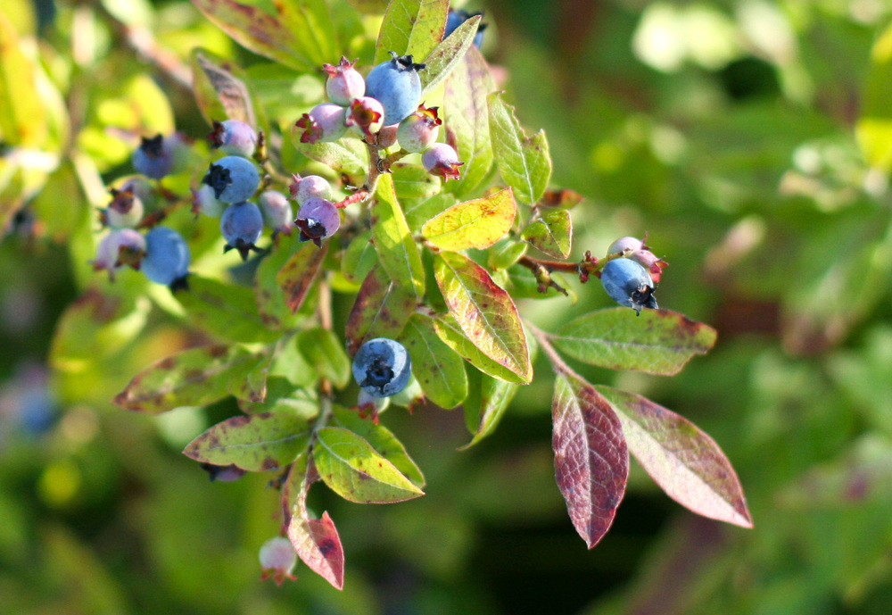 cultivating wild blueberries plant.jpg