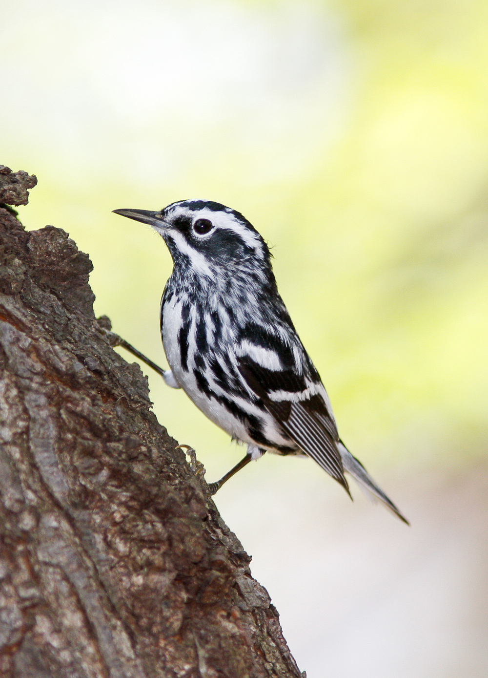 Black-and-white Warbler: High Contrast