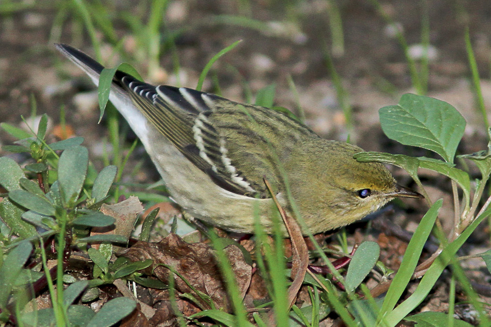 Blackpoll Warbler in fall