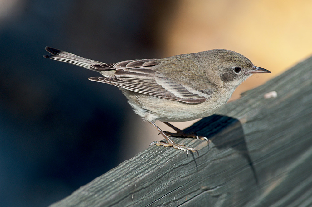 Pine Warbler in fall