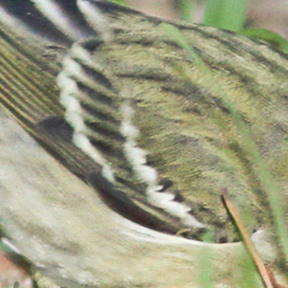 Blackpoll shows more contrast and is darker between the wing bars