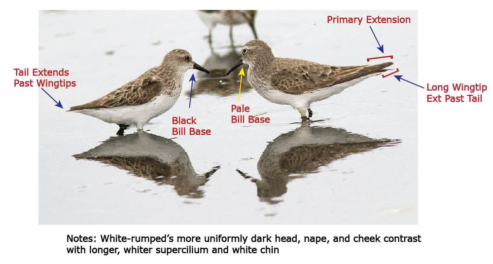white-rumped overview.JPG