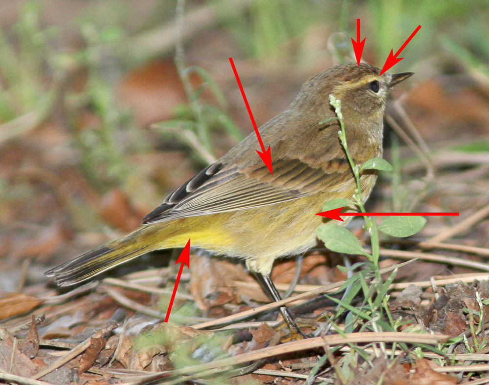 Some useful marks include a wide supercillium, brown in the crown and wings, brownish wing bars, patchy yellow in the body, and a yellow rump and undertail.