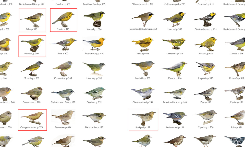 Only a few species have a supercillium and are drabish-yellow like our quiz bird.