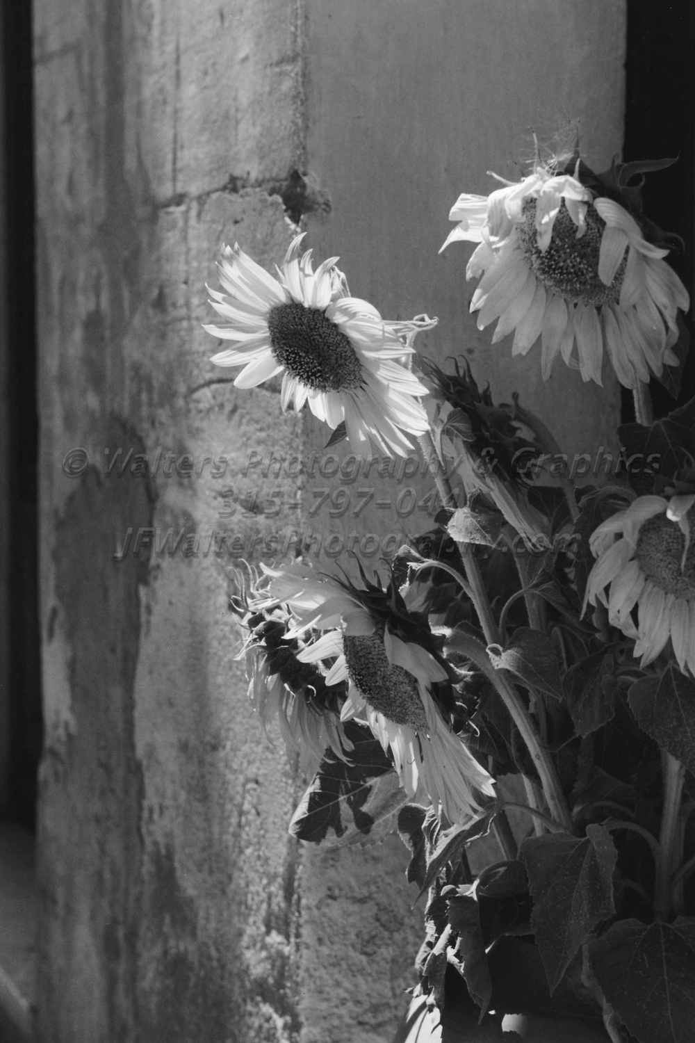 Sunflowers_8163_24A.jpg