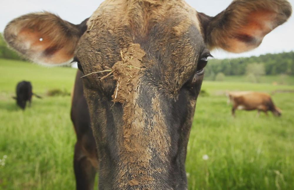 farmsteaders_cowcloseup.jpg