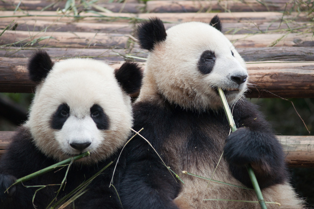 Panda Breeding Research Center (Chengdu, China)