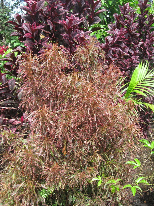 Acalypha Wilkesiana Sizzle Scissor Vintage Green Farms With Tom