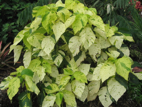 Acalypha Wilkesiana Kona Gold Vintage Green Farms With Tom