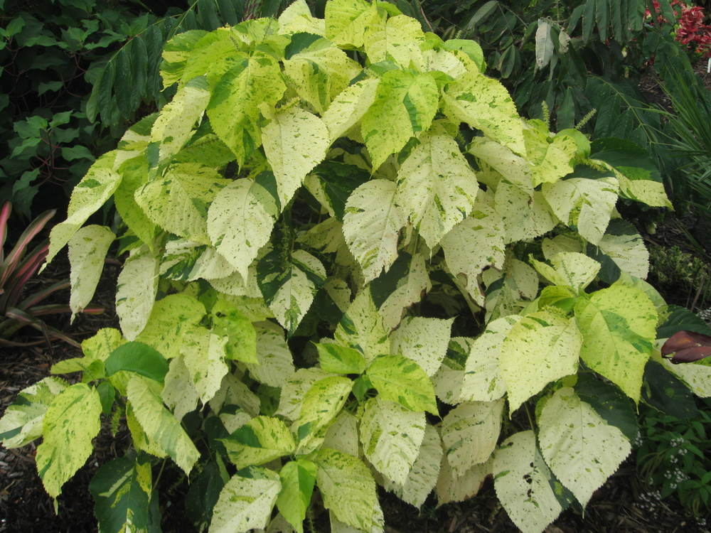 Acalypha 'Kona Gold'