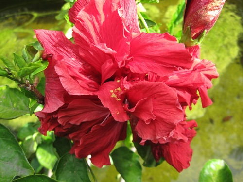 Hibiscus Rosa Sinensis Red Monarch Vintage Green Farms With Tom