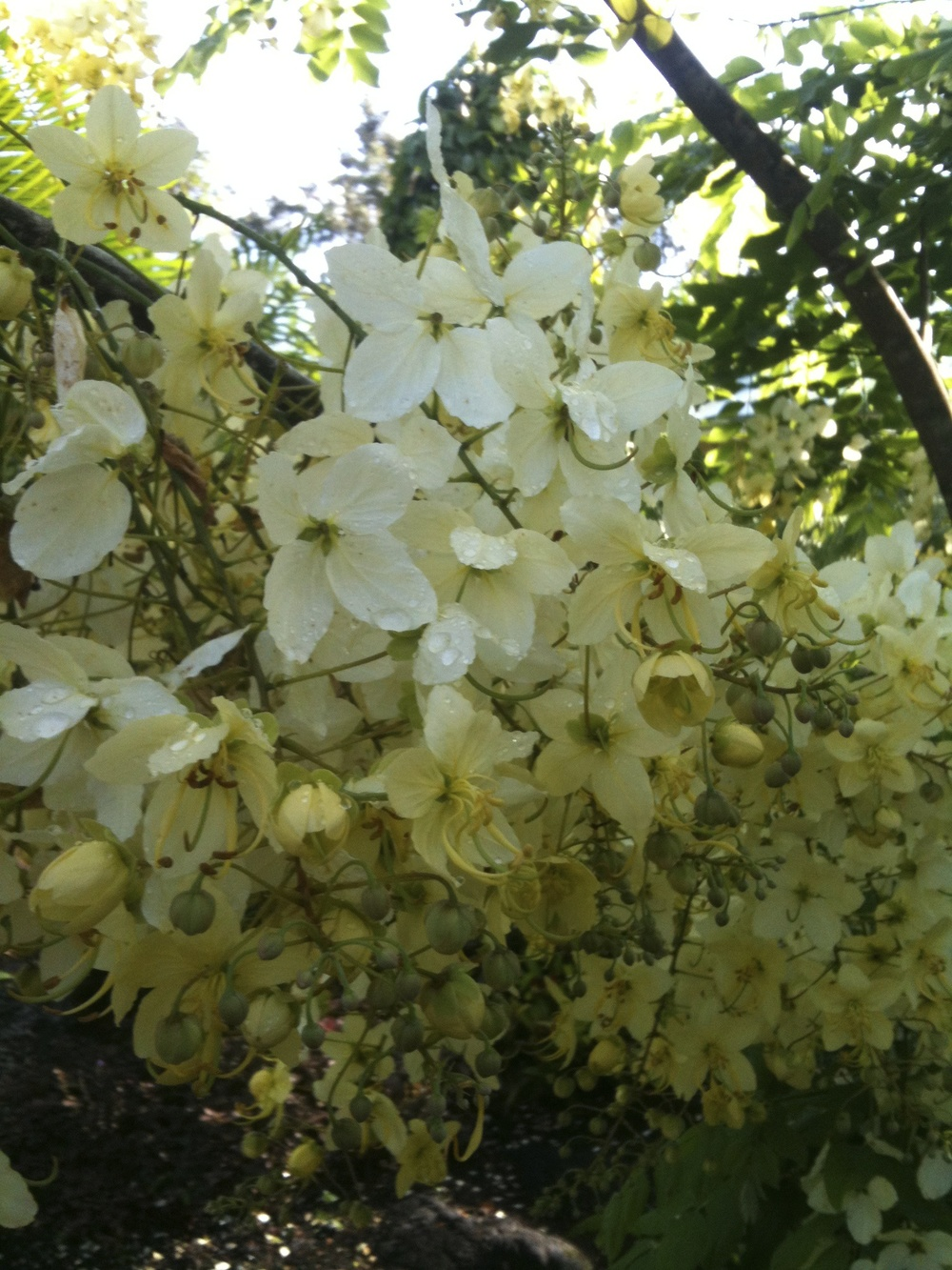 Cassia x neliae 'Queen's Hospital White'