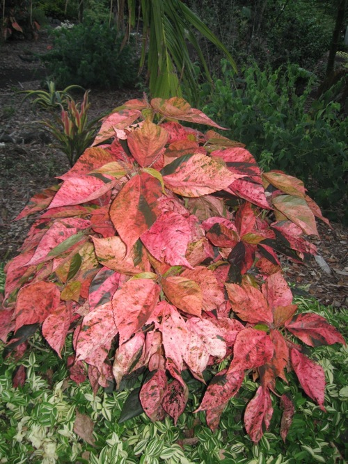 Acalypha Wilkesiana Tricolor Vintage Green Farms With Tom Piergrossi