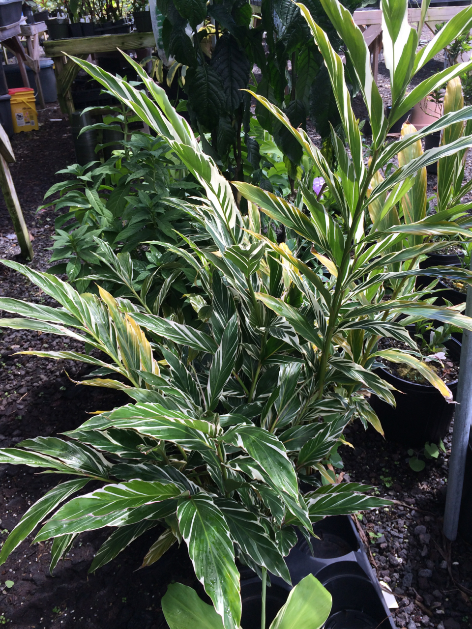 Picture of Live Variegated Ginger aka Alpinia sanderea Plant Fit 2 Gallon Pot