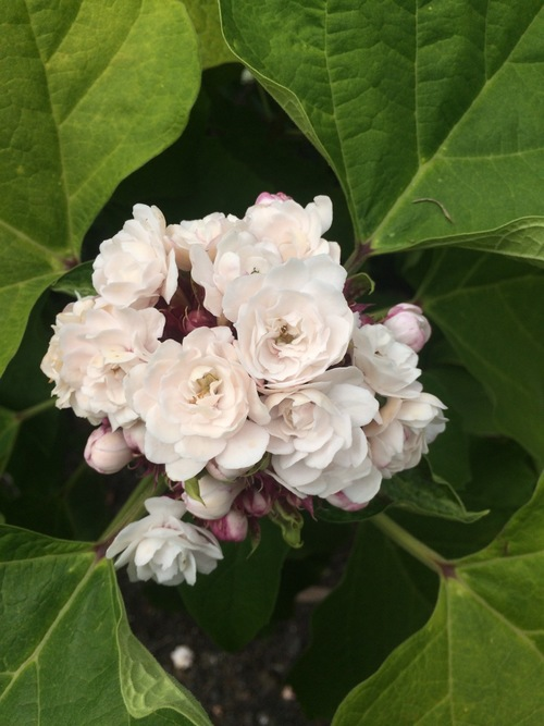 Clerodendrum fragrans (C. philippinum) — Vintage Green Farms with ...