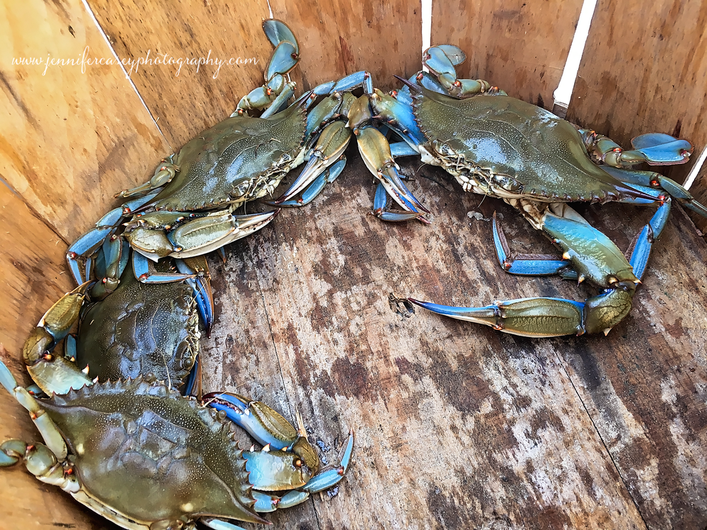 blue-crabs.png