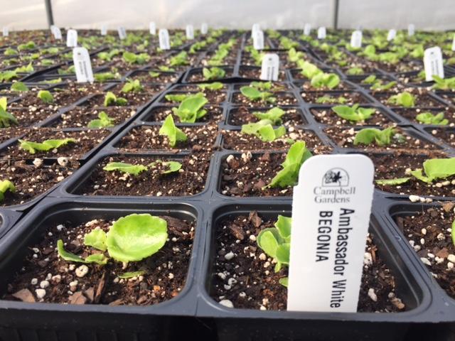 Begonia AMB White.JPG