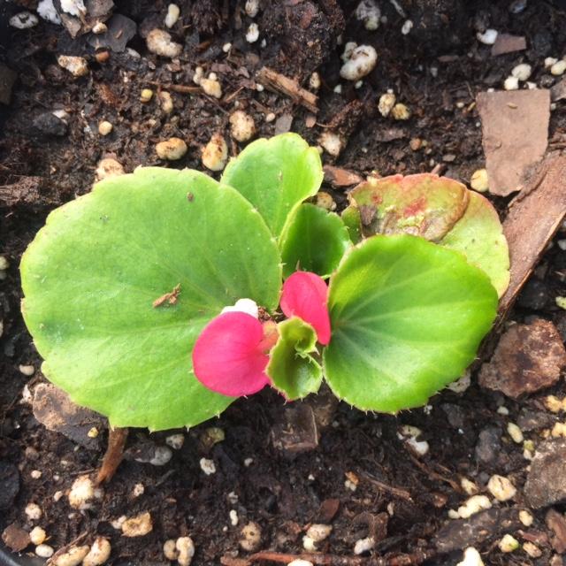 Begonia Rose1.JPG