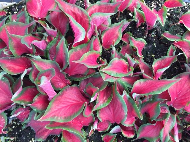 Caladium Red Ruffle.JPG