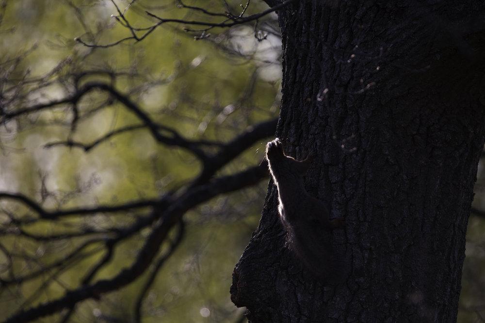 Orava katselee turvallista pakoreittiä.