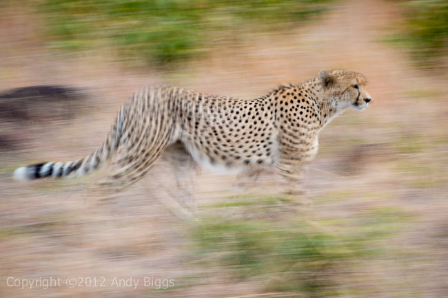 Blurred Cheetah | Nikon D4, 70-200mm f/2.8 VRII, 1/5 @ f/14, ISO 100