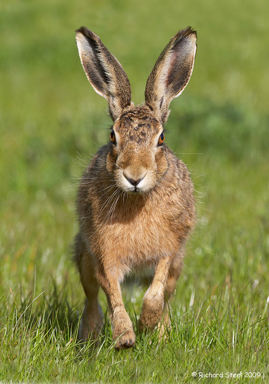 Brown Hare.jpg