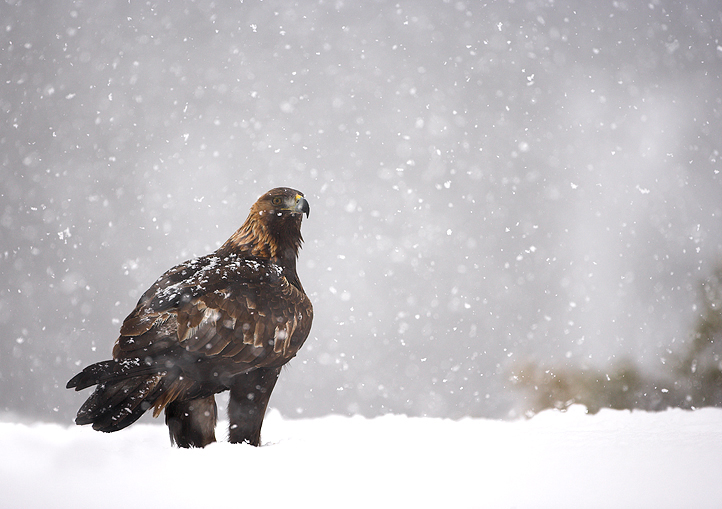 2 Golden Eagle in a Snowstorm.jpg