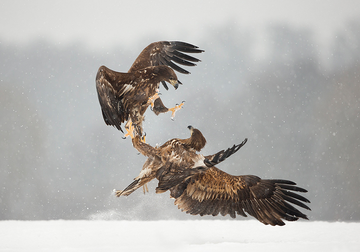1 White-tailed Eagles fighting.jpg