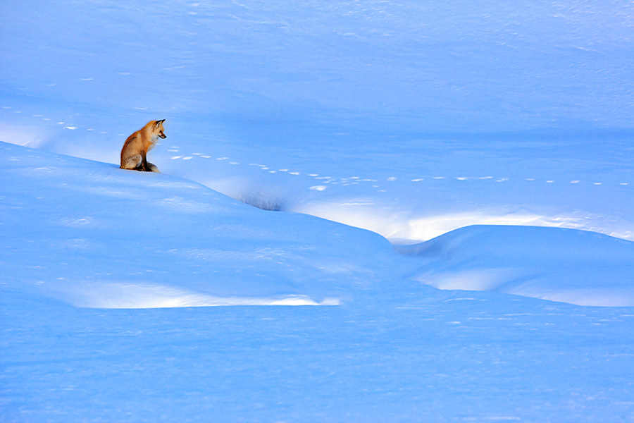 Red-fox-in-snow,-Lamar-Valley,-Yellowstone-National-Park,-Wyoming.jpg