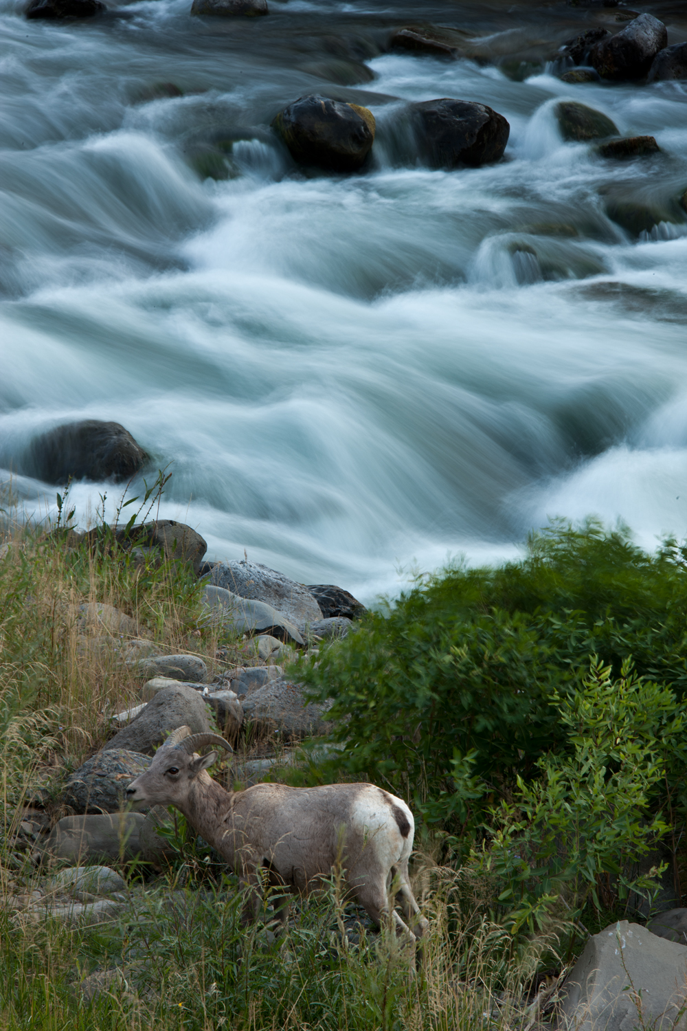 Big Horn Sheep We normally use fast shutter speeds for photographing wildlife, freezing water motion in doing so. Using a slow speed gave an entirely different look, although I had to shoot several .8 second exposures before the big horn stood still long enough for one to work.