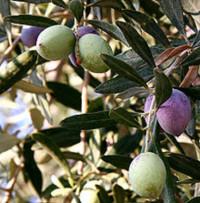 Olive tree, Healdsburg, CA