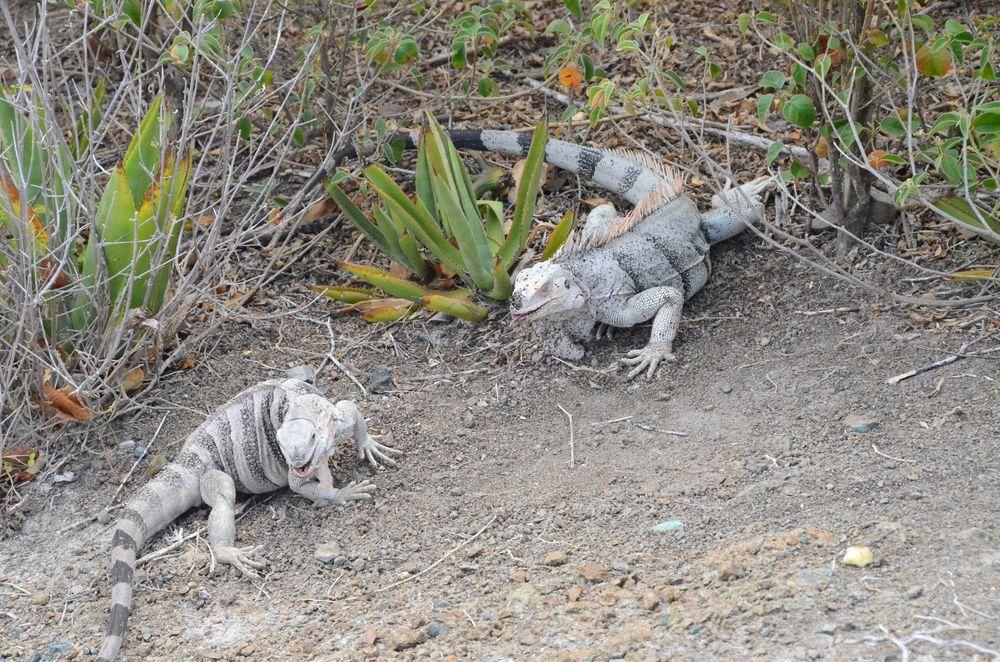 Tobago Cays Iguanas