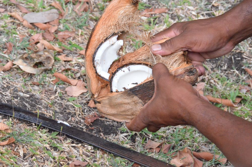 Firefly Plantation Coconut