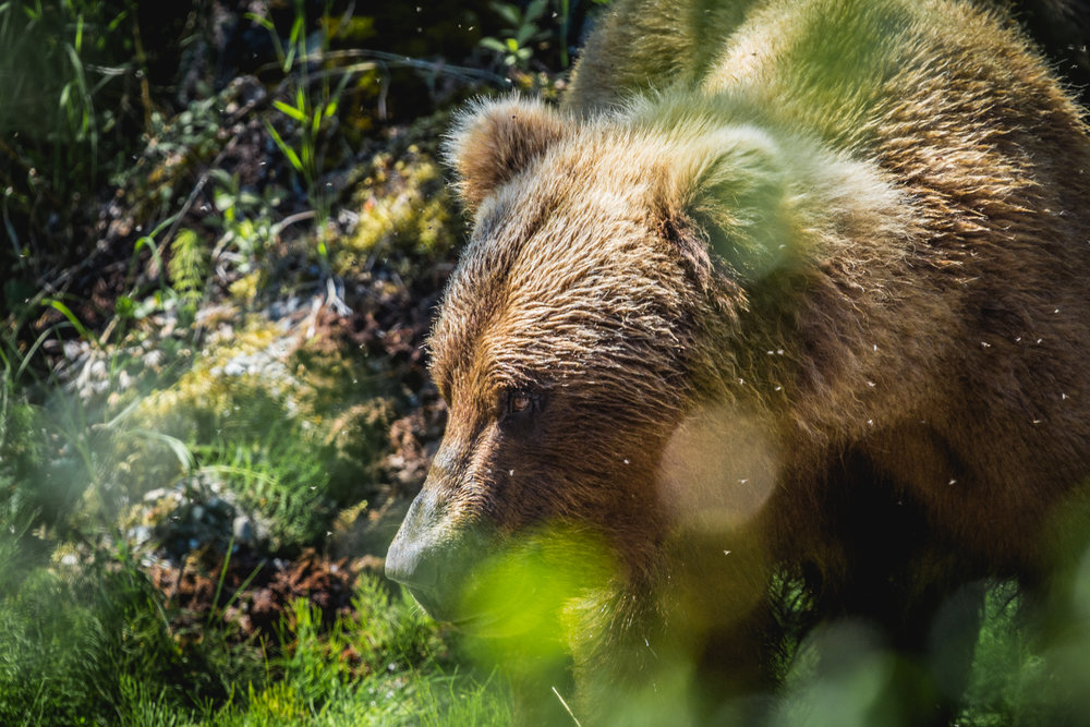 Urus Arctos, the Brown Bear, lives in areas with access to marine resources. In this case, migrating salmon. Grizzly Bears are a subspecies of Brown Bears that live in the interior of a continent.