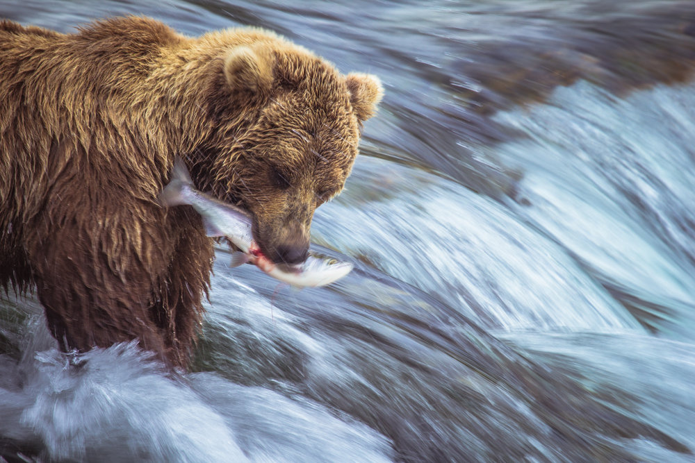 The rivers bring the salmon, the salmon bring the bears, the bears bring the people.