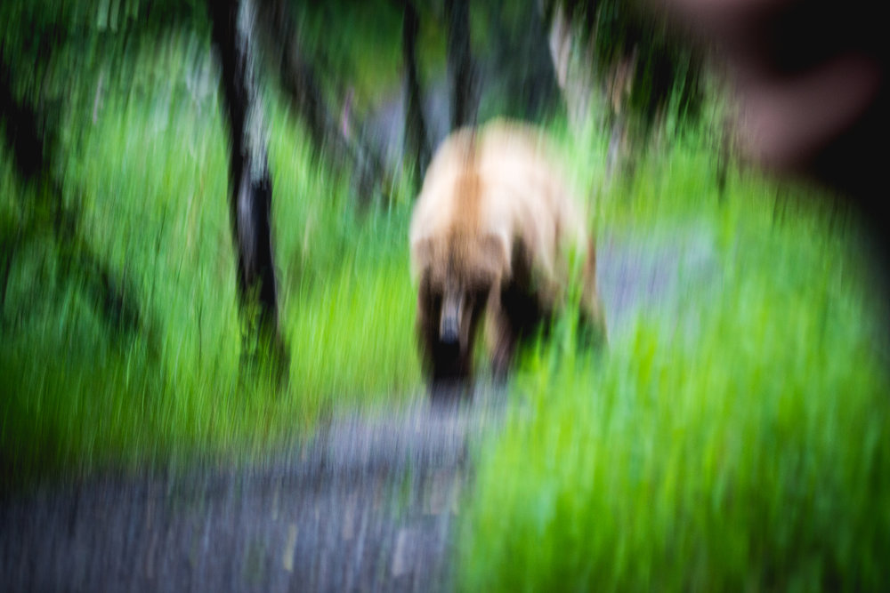 A particularly troublesome brown bear sow considers charging into camp past bear techs.