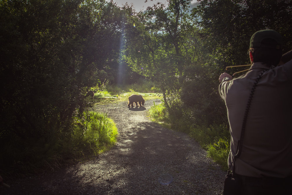 The very thing we love about wildlife, and bears in particular, is their freedom to do as they please. A bear tech tries using a slingshot as a hazing tool against a bear that keeps returning to camp.