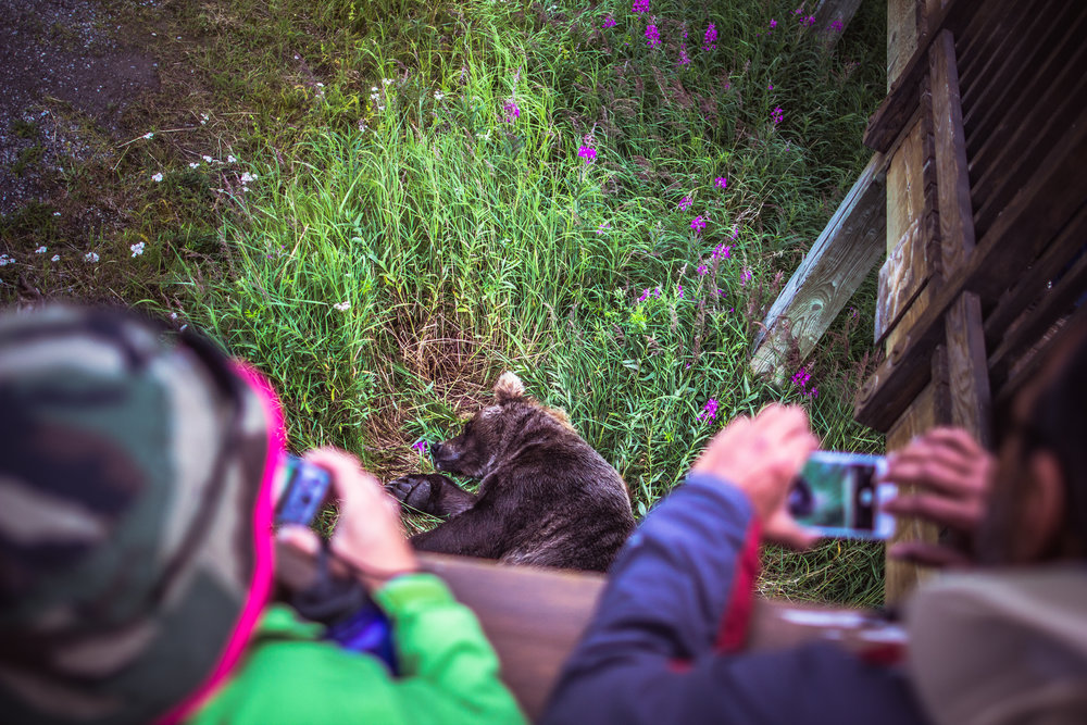 Tens of thousands of tourists visit this remote camp in Katmai National Park every summer. They come to be close to bears but such proximity isn't without a cost. How much are we willing to sacrifice to coexist with these animals?