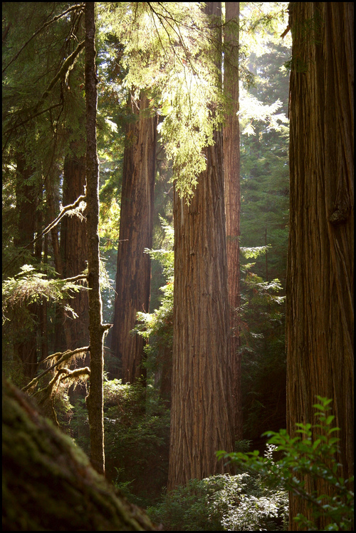 redwoods forest.jpg