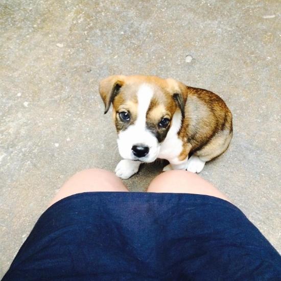 Moxie Mae Boxer Heeler Puppy
