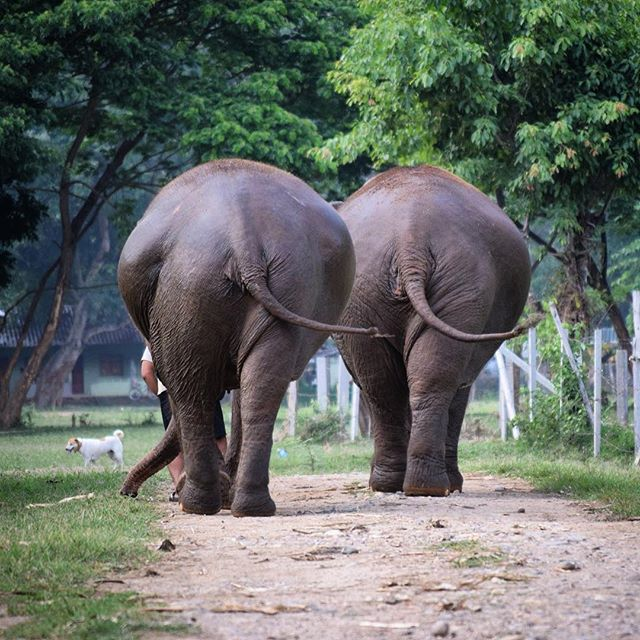 Heading into the weekend like!! #ElephantVibes #SaveElephants ❤️🍌🐘🐘 @elephantnaturepark