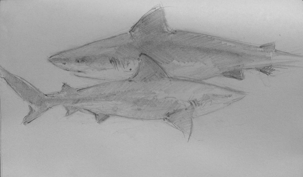 Sand Sharks, Mote Marine SRQ