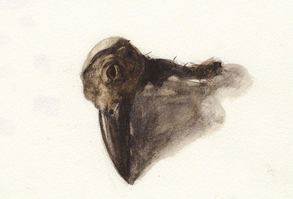 Cuervo Brachyrhynchos