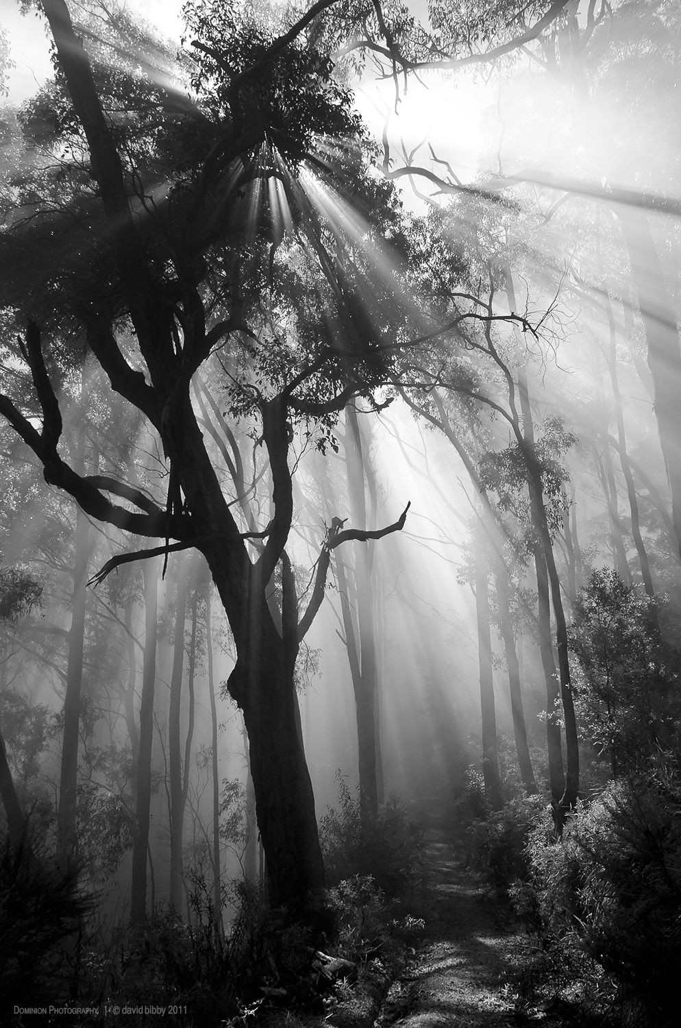 Forest in the clouds  - Mount Dandenong. Victoria.