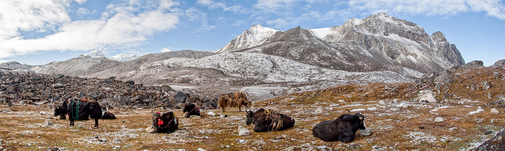 Yaks waiting for loads. Lunana.