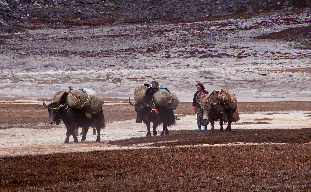 Lunana: The yak mistress  - Yaks carrying loads after crossing the Rinchen Zoe La (5326m). Lunana.